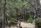 Dans les pins